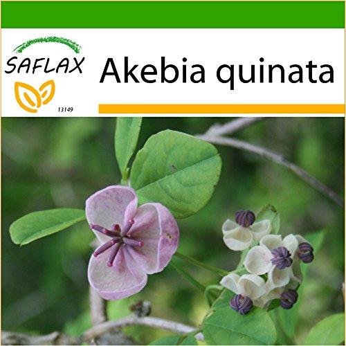 SAFLAX - Schokoladenwein - 10 Samen - Mit keimfreiem Anzuchtsubstrat - Akebia quinata