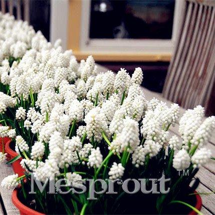 50 graines de raisin musqué orchidées Graines de fleurs Nouveau jardin des plantes