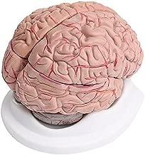 Amazon.es: modelo anatomico cerebro