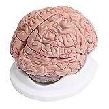 Contrassegni colorati: arterie in rosso, nervi cranici in giallo, vene in blu, corteccia cerebrale in rosa e fibre del midollo spinale in bianco. Dissezionato in 8 parti per visualizzare le arterie. Modello a grandezza naturale dipinto a mano, posto ...