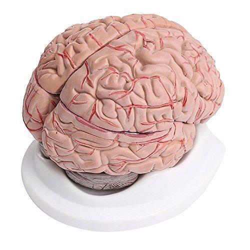 Modelo anatómico de cerebro humano con arterias (8piezas)