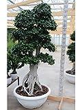 Bonsai Ficus 'King Of Ginseng' big/h 235 cm.