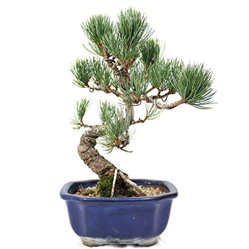 Pin blanc du japon, Pinus penthphylla, Bonsaï d'extérieur, 20 ans, hauteur 19 cm