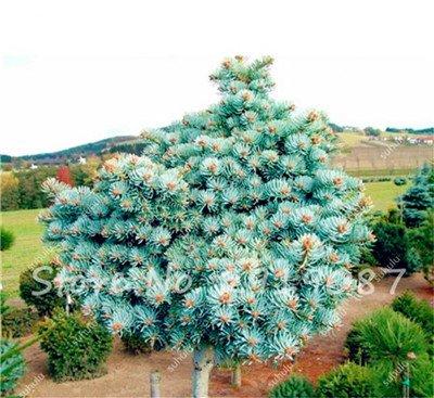 Colorado mixtes Graines de sapin Coloful Spruce Graines Picea arbre en pot Bonsai Cour Jardin Bonsai usine Pine Tree Seeds 100 Pcs 18