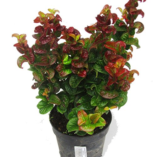 Leucothoe axillaris 'CURLY RED'®...