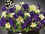Willemse France Lot de 9 : Mélange de pétunias Blueberry Lime Jam F1 (7 graines enrobées), 021056-9