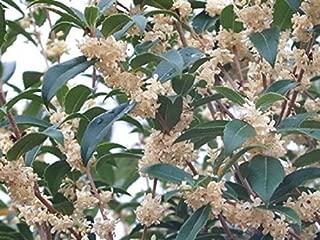 Fruitlands Fragrant Tea Olive (osmanthus) - Live Plant - Quart Pot