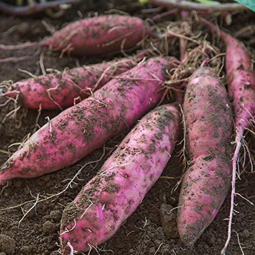 シルクスイート 10kg 土付き 生芋 (M〜2Lサイズ混合) 鹿児島県産 さつまいも