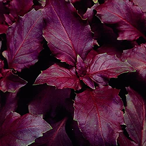 国華園 種 野菜たね ハーブ パープルバジル 1袋(1ml) 第4種郵便 /21年秋商品