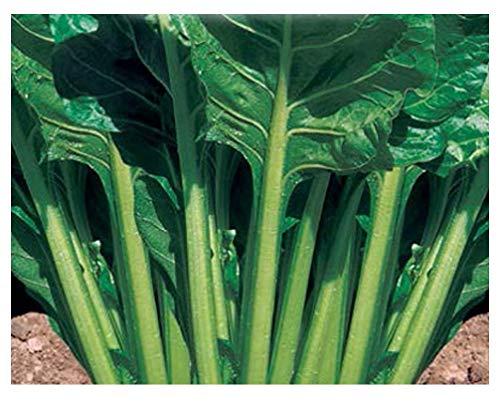 750 Aprox. - Graines de bette à cardes coupées vertes - Beta Vulgaris Dans emballage d'origine Fabriqué en Italie - Bette à carde lisse vert