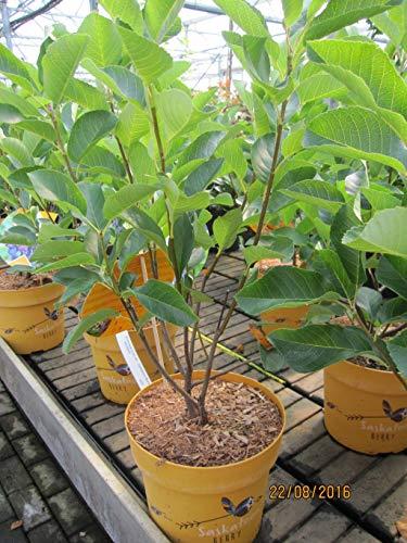Amelanchier alnifolia Saskatoon Berry (R) - Felsenbirne Saskatoonbeere (R)