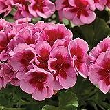 Pflanzen Kölle Geranie 'Calliope® Rose Splash', 6er-Set, rosa-rot, Topf 13 cm Ø