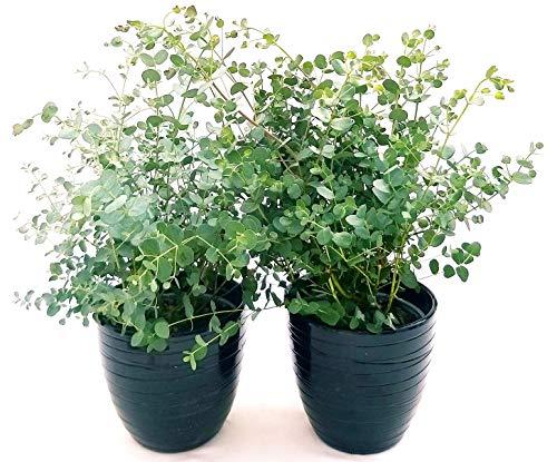 EUCALYPTUS, EUCALIPTO, 2 PIANTE IN VASO 14CM, piante vere