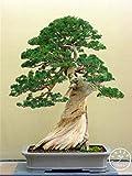 Trébol de semillas de Trifolium repens bonsai belleza plan de suerte al aire libre 100% verdadera semilla de trébol de cuatro hojas 100 PC / bolso