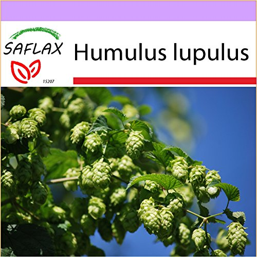 SAFLAX - Heilpflanzen - Echter Hopfen - 50 Samen - Humulus lupulus