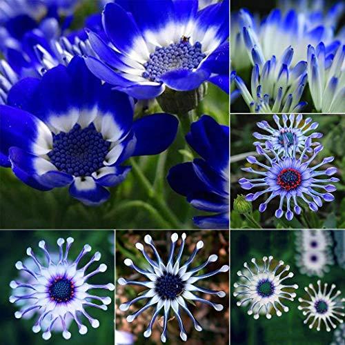 SummerRio 10/20/50 Stücke Afrikanische Gänseblümchen Samen nette entzückende Blumen wohlriechende Samen blüht (10)