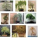 Ultimate Willow Bonsai Bundle - 9 Types of Exotic Willow to Grow as Bonsai