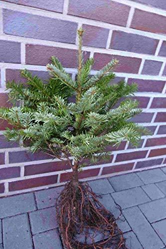25st. Nordmanntannen 25-40cm 5j. Nordmanntanne Weihnachtsbaum Abies nordmanniana (25)