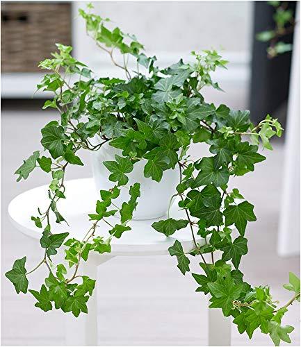 BALDUR Garten Efeu, 1 Pflanze Luftreinigende Zimmerpflanze Hängepflanze Hedera Helix