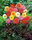 Beautytalk Jardin- Graines de Zinnia Plantes à base de plantes Graines de fleurs Mélange de Zinnia Couvre-sol Fleurs sauvages Graines biologiques vivaces pour balcon/terrasse/jardin
