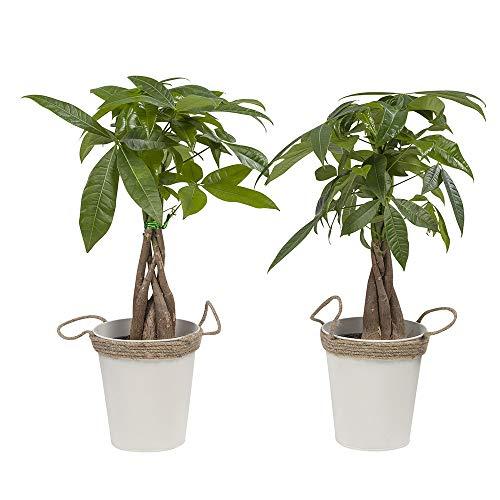 Zimmerpflanzen von Botanicly – 2 × Glückskastanie in Zink Übertopf als Set – Höhe: 38 cm – Pachira aquatica