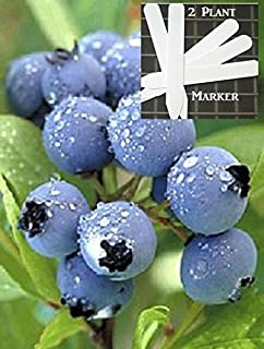 Star Blueberry 300+ Seeds 646263362785 + 2 Free Plant Markers - Ripens Early