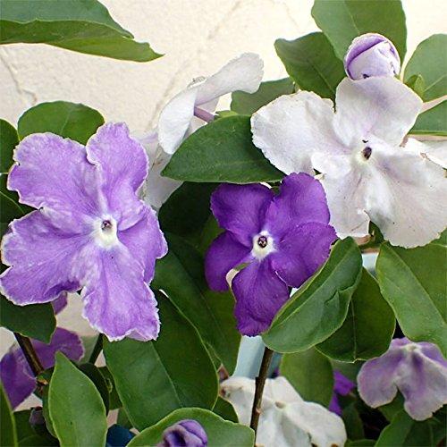 ニオイバンマツリ(ブルンフェルシア)3号2株セット[アメリカンジャスミンとも呼ばれる香りの花木]