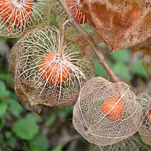 50Pcs / Bag Physalis Seeds Son Plantaciones De Frutas Physalis Comestibles Y Jugosas Ecológicas Semillas de Physalis Peruviana