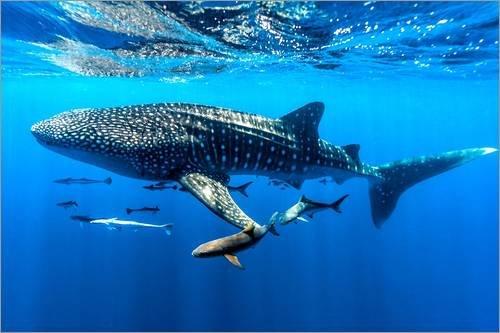 Posterlounge Acrylglasbild 90 x 60 cm: Walhai unter Wasser von Jason Edwards/National Geographic - Wandbild, Acryl Glasbild, Druck auf Acryl Glas Bild