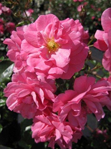 Bodendeckerrose Mirato® - Rosa Mirato® - pink - Beetrose - Duft+ - Tantau-Rose - ADR-Rose Preis nach Stückzahl 3 Stück