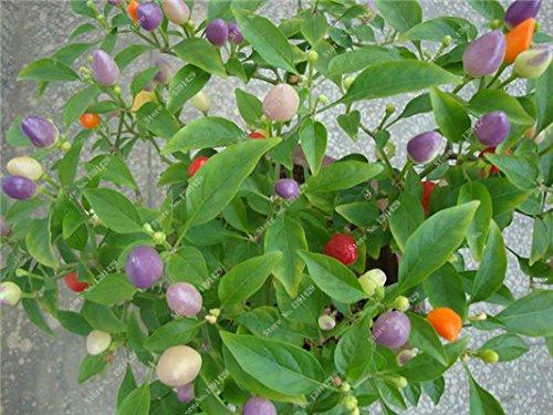 Cerise poivre Graines Bonsai plantes ornementales délicieux Chili Capsicum semences Diy jardin Croissance domestique naturelle 300 semences 17