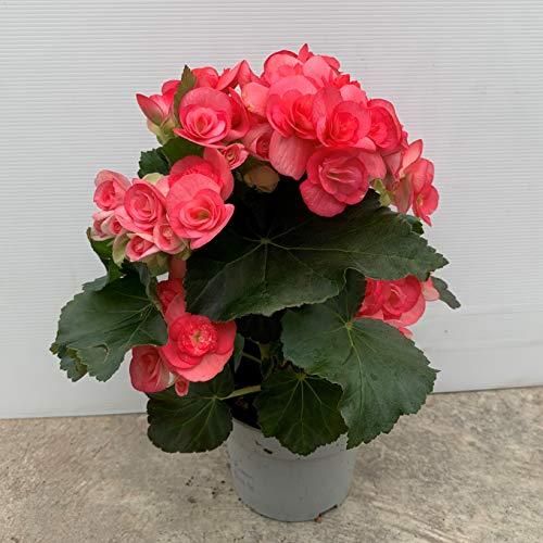 Begonia eliator - PACK 2 unidades - maceta 13cm - altura total aprox. 30cm. - apta para interior y exterior - planta viva - (envíos solo a península)