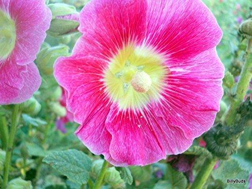 30 lumière rouge/jaune BI-COLOR trémière Seeds