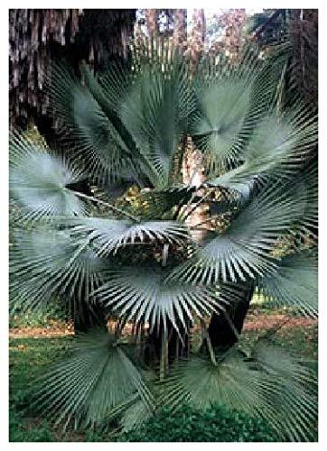 TROPICA - Felsenpalme (Brahea dulcis) - 10 Samen