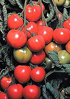 Early Cascade Tomato Seeds