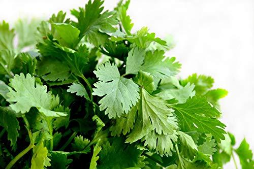 50 graines Aromatiques - CORIANDRE Cultivée - Coriandrum