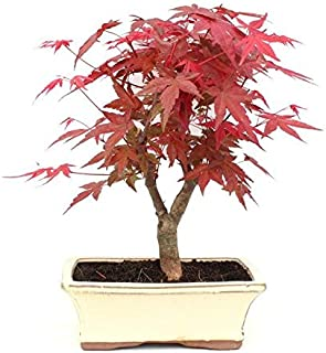 Bonsái Acer palmatum deshojo 9 años ARCE