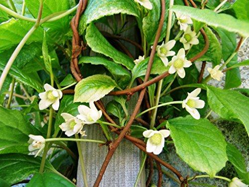 Asklepios-seeds® - 100 keimfähige Samen von Schisandra chinensis, Beerentraube, Limonenbaum