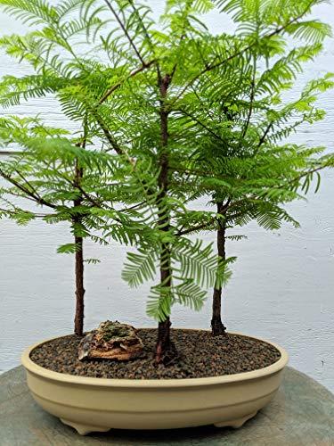 3 Tree Redwood Forest Bonsai Tree