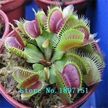 CUSHY Grandi semi vendita Dionaea muscipula clip Venus Fly Semi trappola 300PCS semi