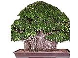 KINGDUO 150Pcs Bonsái Semillas Llanto Higo-Ficus Benjamina Inicio Planta Bonsái Árbol Verde