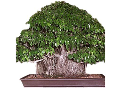 KINGDUO 150Pcs Bonsai Graines Pleurant Fig - Ficus Benjamina Accueil Plante Vert Bonsaï