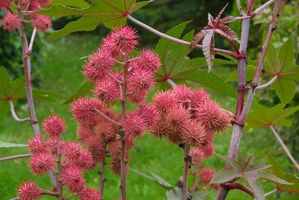 Ricinus Communis Palma Christi Wunderbaum 5 Samen