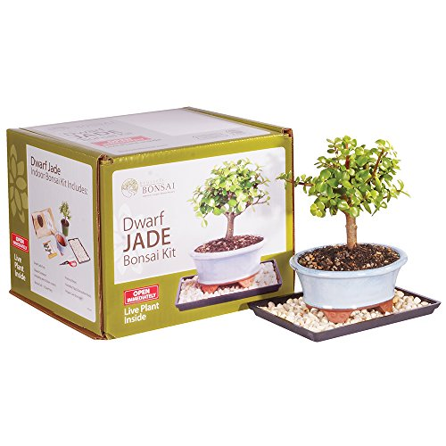 Brussel's Live Dwarf Jade Indoor Bonsai Tree Kit - 3 Years Old; 6' to 10' Tall with Decorative Container
