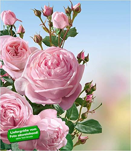 BALDUR Garten Delbard® Kletterrosen 'Nahéma®' winterhart, 1 Pflanze