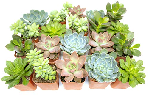 Succulent Plants (20 Pack) Fully Rooted in Planter Pots with Soil | Real Live Potted Succulents / Unique Indoor Cactus Decor by Plants for Pets