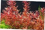 FDY 1 Bundle Live Aquarium Plants Rotala Rotundifolia Red Easy Grow - RK811