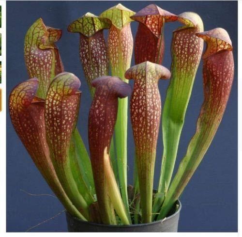 100 Pitcher Plante carnivore Graines de fleurs Bug Flytrap alimentaires exotiques Fly Trap