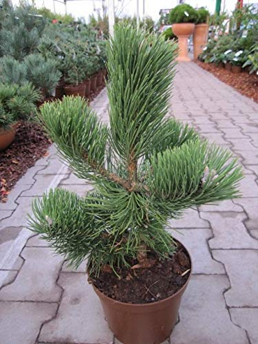Pinus nigra Select - Schwarzkiefer Select - Schwarzföhre