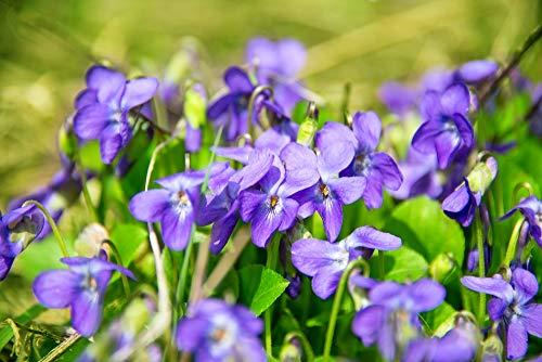 Duftveilchen Samen, Viola Odorata 25 Samen